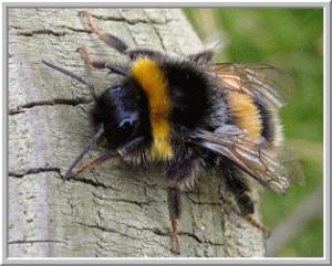 Bumblebees vs. Honeybees: Whats the difference?