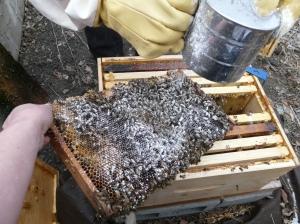 Sugar Dusting Honey Bees