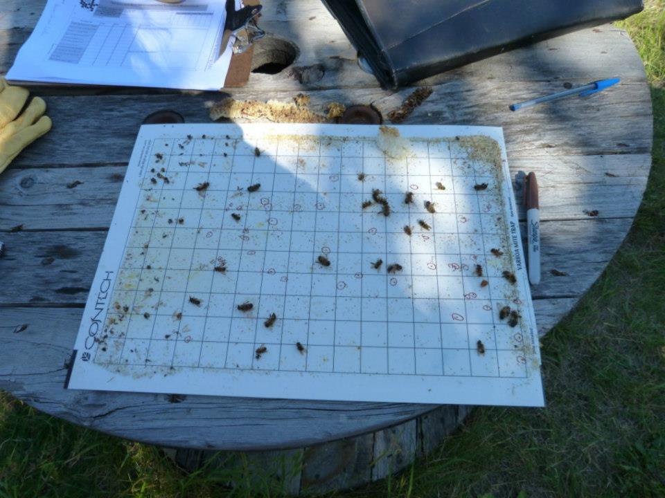 image of a sticky bottom board with some dead bees and varroa mites circled in red sharpie.